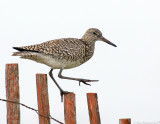 NAW2480 Willet