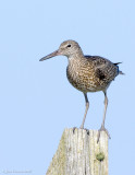 NAW3186 Willet
