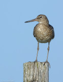 NAW3228 Willet