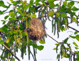 _NW83876 Baltimore Oriole Nest.