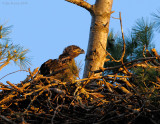 _NW85376 Bald eagle Chick.jpg