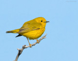 _NW85751 Yellow Warbler.jpg