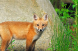 _NW87033 Fox Kit Looking R.jpg