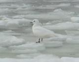 Ivory Gull 2009