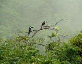Channel-billed Toucans