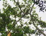 Bearded Bellbird 1