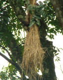 Crested Oropendola at nest