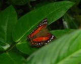 Scarlet Peacock, Anartia Amathea
