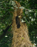 Crested Oropendola at nest 2