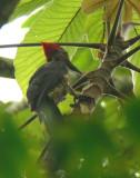 Linneated Woodpecker 2