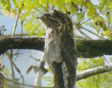 Common Pootoo