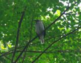 Bearded Bellbird 2