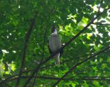 Bearded Bellbird 3