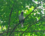 Bearded Bellbird 4