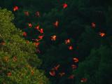 Scarlet Ibis 2