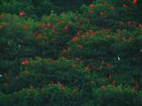 Scarlet Ibis 6