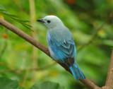 Blue-grey Tananger
