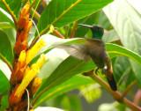 Copper-rumped Hummingbird 1