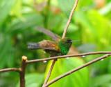 Copper-rumped Hummingbird 2