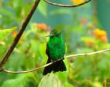 Copper-rumped Hummingbird 3