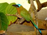 Blue-crowned Motmot 4