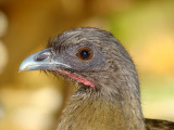 Rufous-vented Chachalaca 1