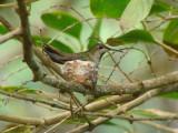 Black-chested Mango (on nest)