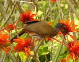Rufous-vented Chachalaca 2