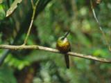 Rufous-tailed Jacamar 1