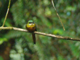 Rufous-tailed Jacamar 2