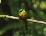 Rufous-tailed Jacamar 3