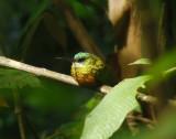 Rufous-tailed Jacamar 4
