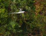 Red-billed Tropicbird 1