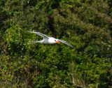 Red-billed Tropicbird 3