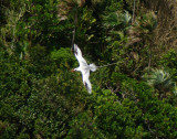 Red-billed Tropicbird 5