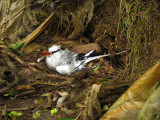 Red-billed Tropicbird on nest 1