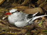 Red-billed Tropicbird on nest 2