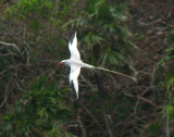 Red-billed Tropicbird 7
