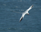 Red-billed Tropicbird 8