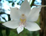 Virgin Orchid