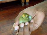 Rescued female Golden-headed Manakin