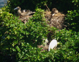Red-footed Boobies at nest
