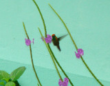 First looks at male Tufted Coquette