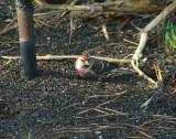Common and Hoary Redpolls