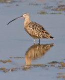Long-billed Curlew, adult