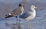 Heermann's Gull (left), presumed 3rd cycle, with California Gull, both basic adults