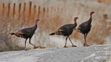 Wild Turkeys with muddy feet