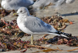 Mew Gull, basic adult with pale eyes