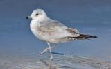 Mew Gull, 1st cycle