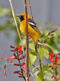 Hooded Oriole, alternate male